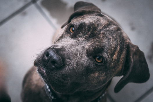 Billibone-gateries-santé-pour-chiens