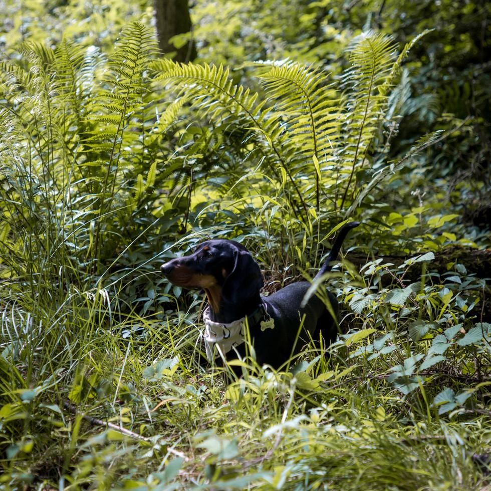 dachshund puppy in ferns and wild British woodland