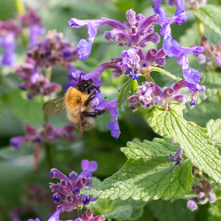 bumble bee pollonating purple flower