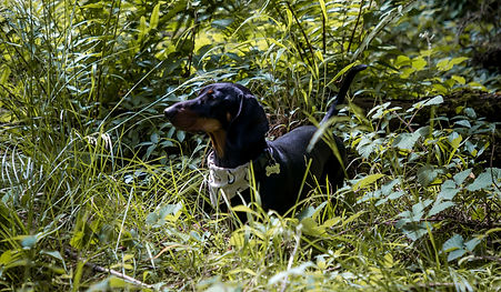 dachshund puppy in ferns and wild British woodland