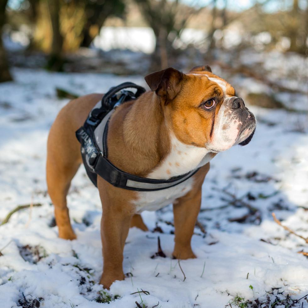 English bulldog with harness on in British winter setting