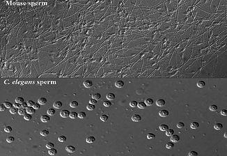 worm_mouse_sperm.jpg