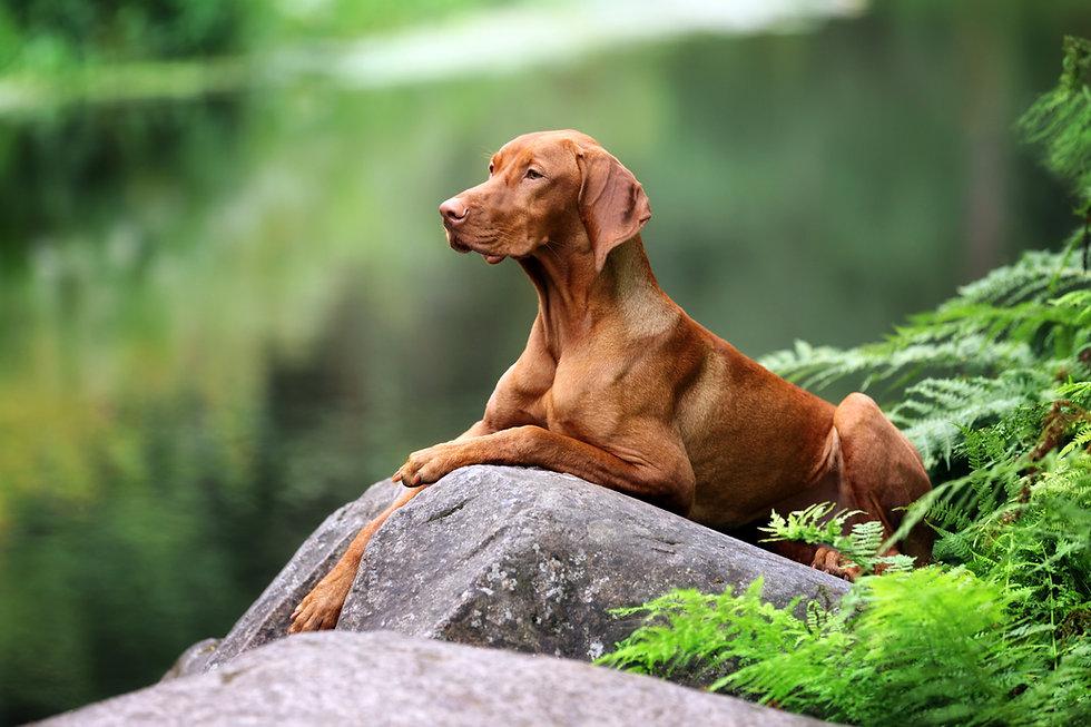 Beautiful dog Vizsla laying on a rock.jp