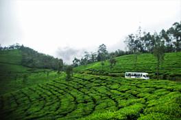 Soothing Tea Plantations