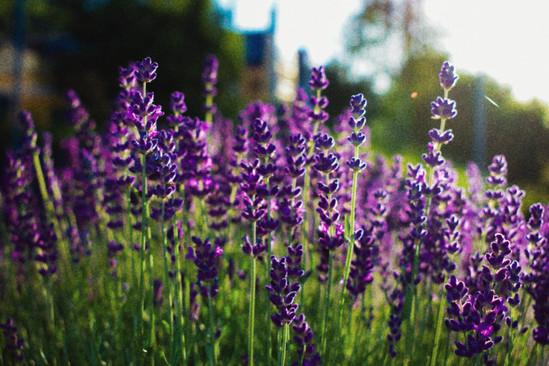 Lavender Lust