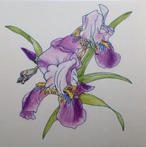 紫アヤメ Iris.violet.01