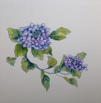 紫陽花 Hortensia.01