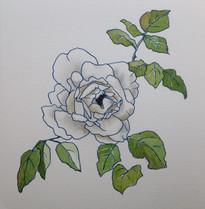 白薔薇 Rose blanche.01