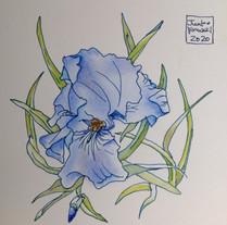 アヤメ Iris bleu.01