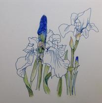 青アヤメ Iris.bleu.02