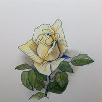 黄薔薇 Rose jaune.01