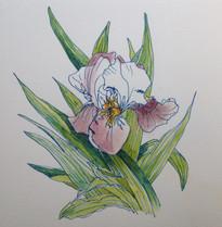 赤茶アヤメ Iris brun.01
