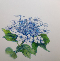 紫陽花 Hortensia.02