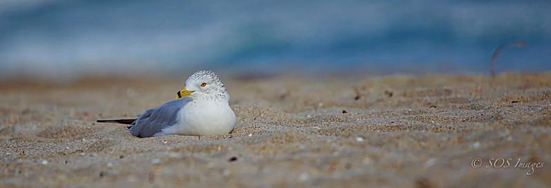 Albatross in the sand