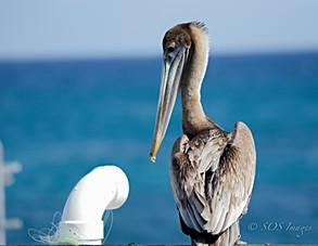 Pelican & Tied up Friend