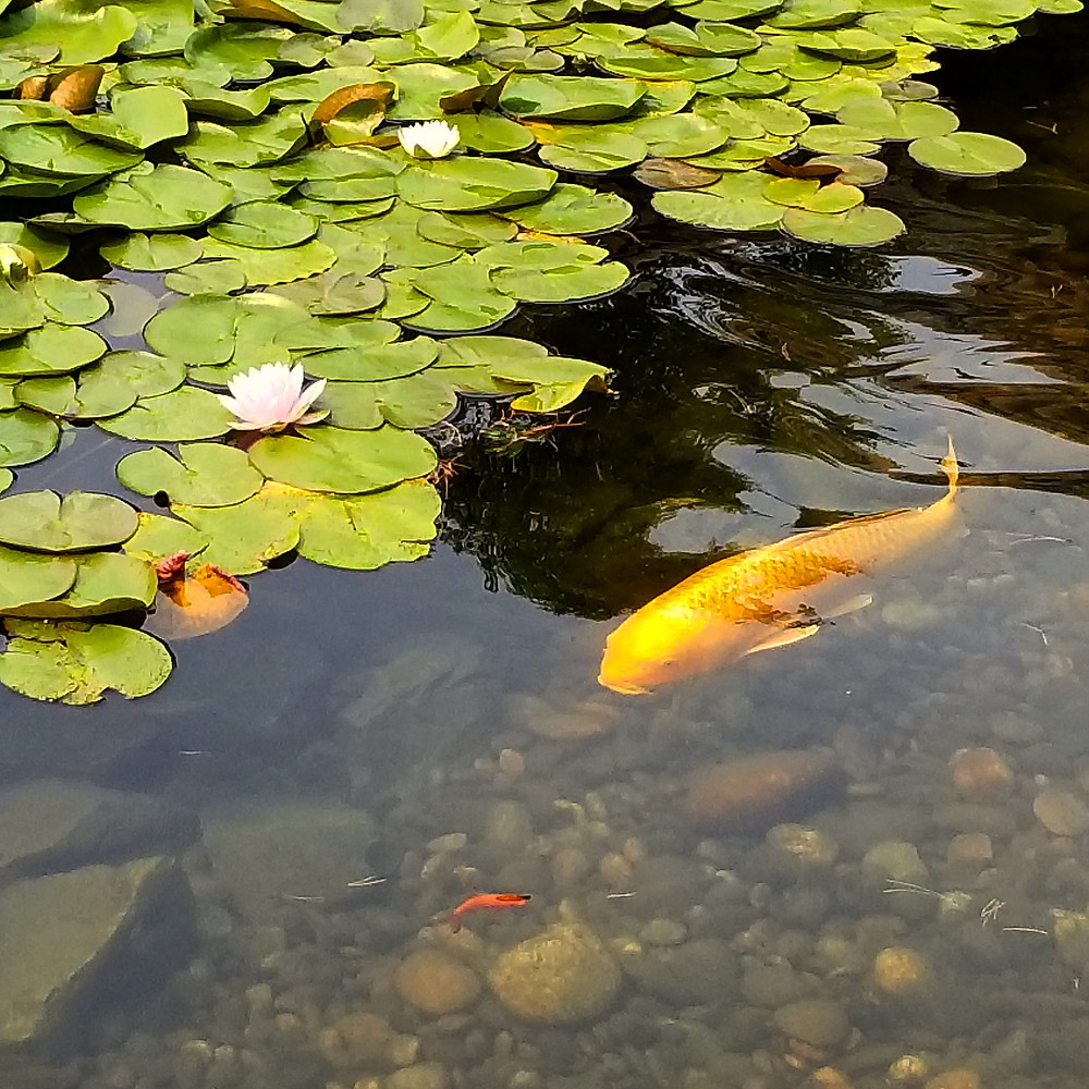 Koi fish and lotus blossums in pond