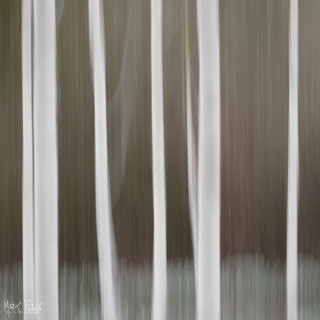 Paper Birches II.jpg