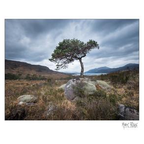 Torridon tree 2.jpg