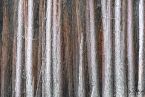 Pines with lichen.jpg