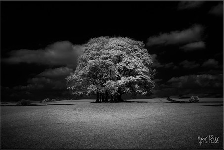 Beech trees IR.jpg