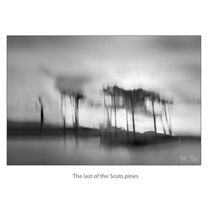 The last of the Scots pines.jpg