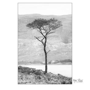 Torridon tree.jpg