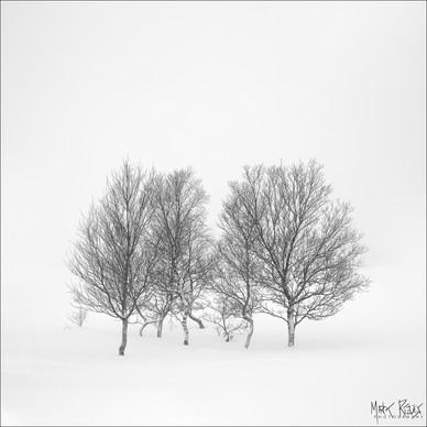 Birches in the snow.jpg