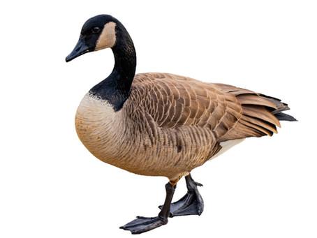 Faithful Geese always come home