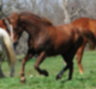 Gaited Morgan Mare at Missouri Morgans