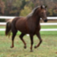 Gaited Morgan Mare