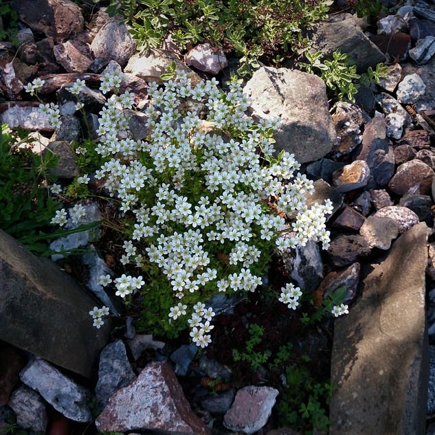 saxifrage in rock garden.jpg