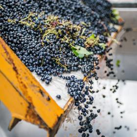 Shottesbrooke Harvest Red Grapes