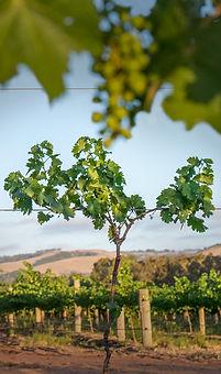 Shottesbrooke Winery McLaren Vale Young Vine in the Vineyard