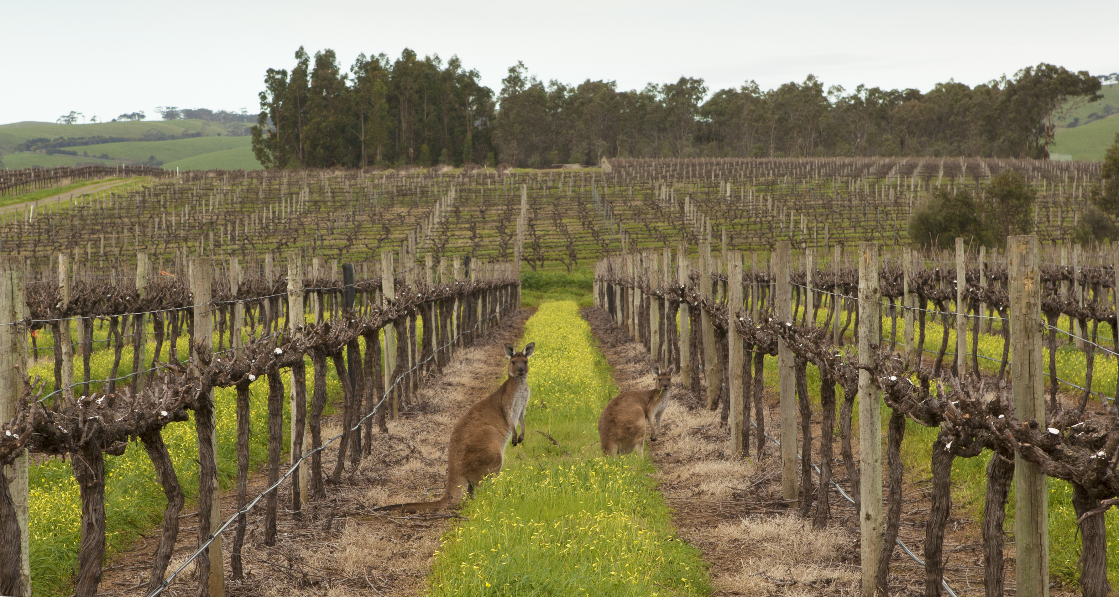 Shottesbrooke Vineyards (15) - Shay Bayly Photography 2013