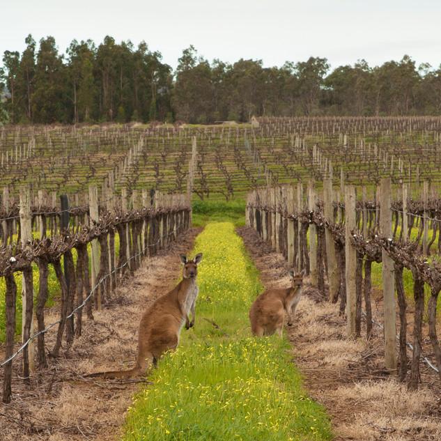 Shottesbrooke Vineyards Kangaroos