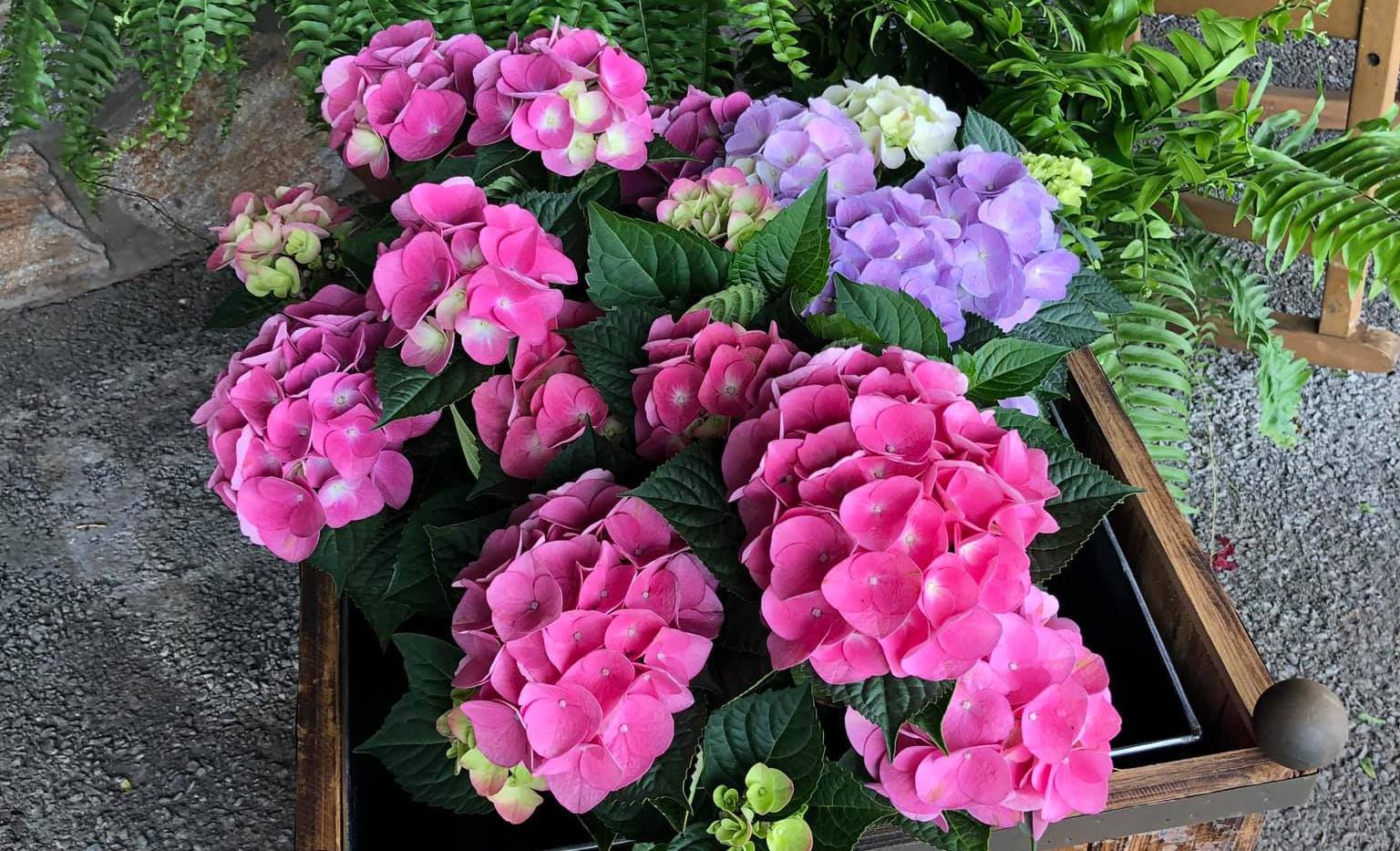 Florist Hydrangeas.jpg