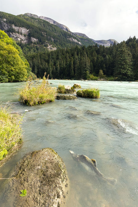 Chilkoot River and it's salmon