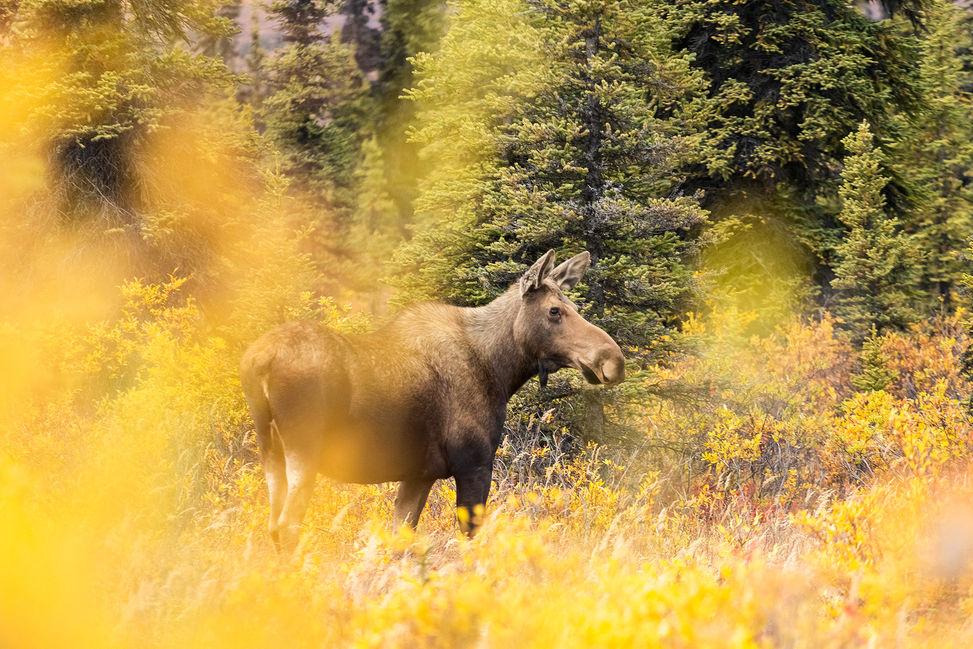 Moose, Alaska, US