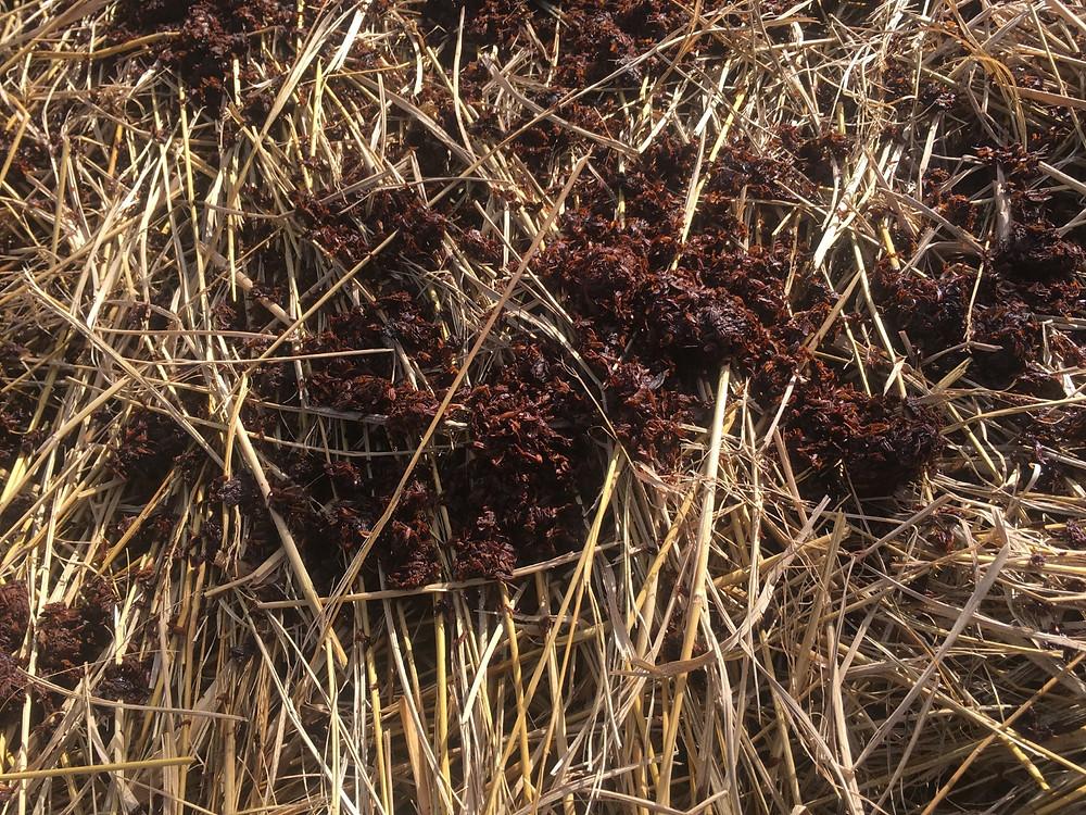 堆肥化した牛糞
