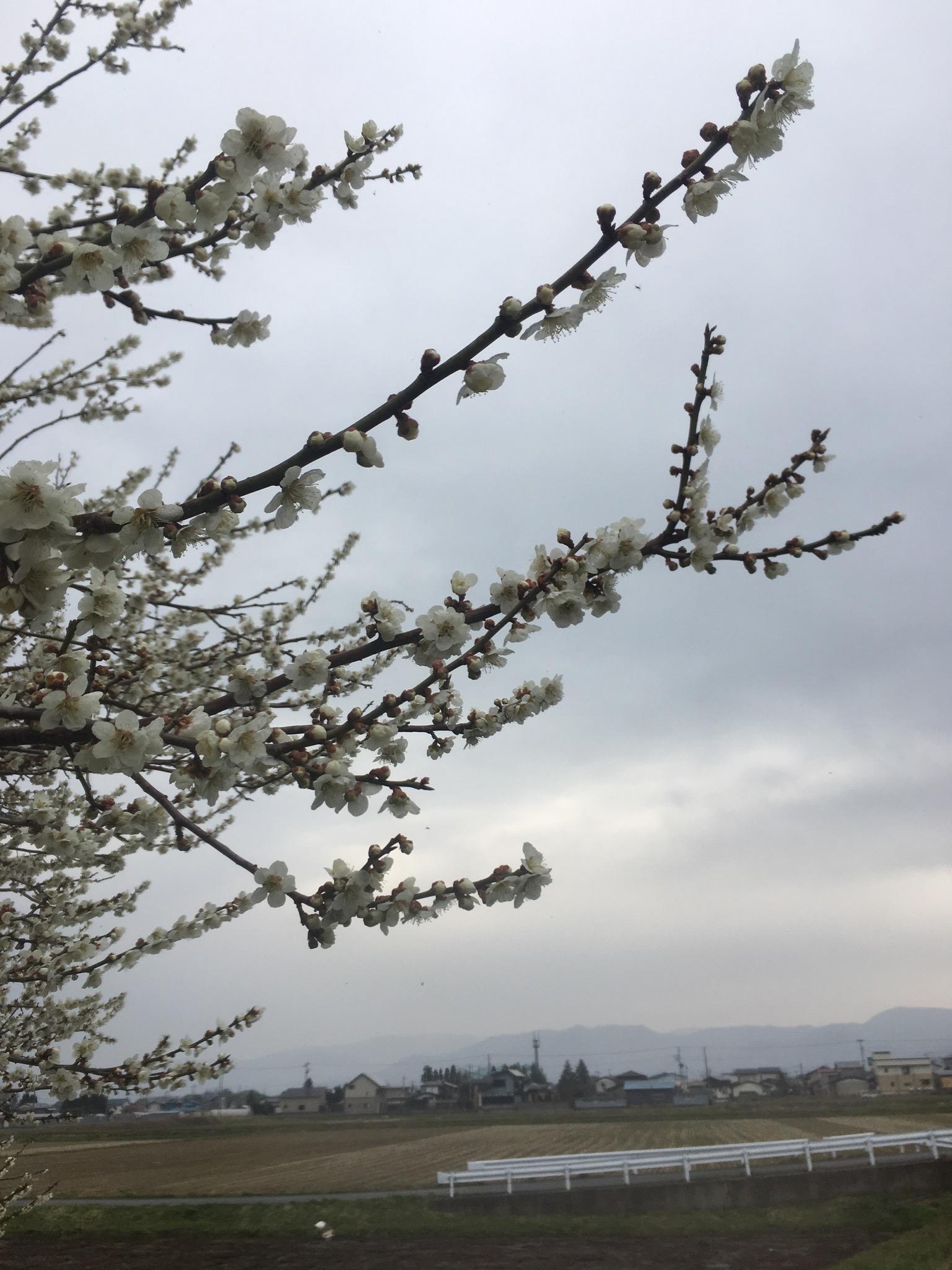 綺麗に咲いた梅の木