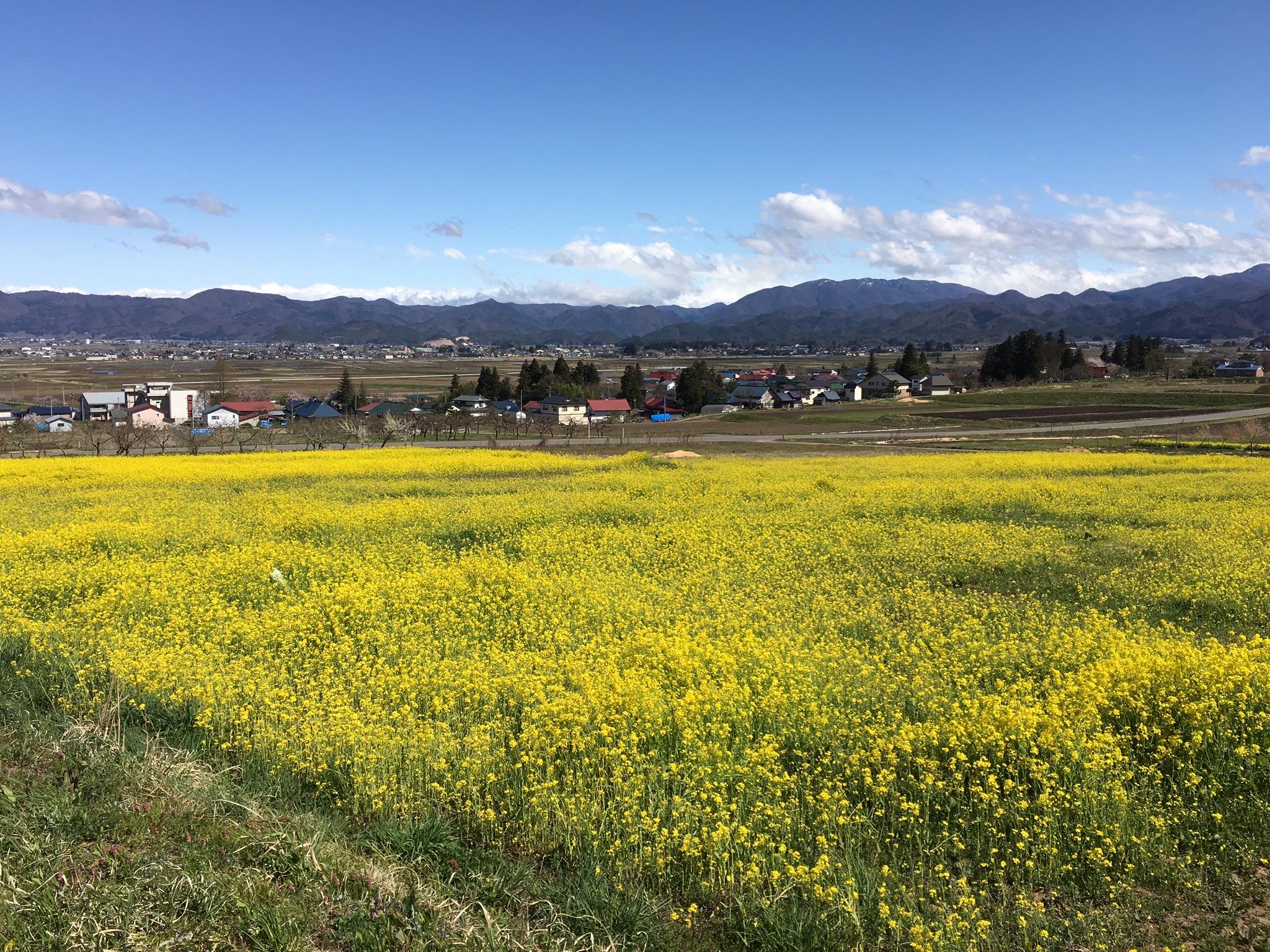 八木沢の菜の花畑