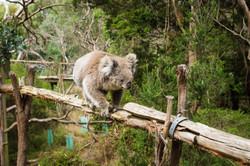 Koala Reserve - Phillip Island