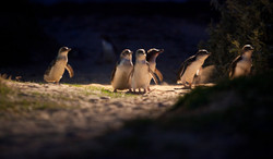 Penguin Parade - Phillip Island