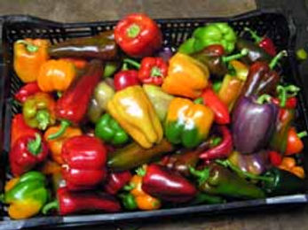 A crate full of colorful bell peppers