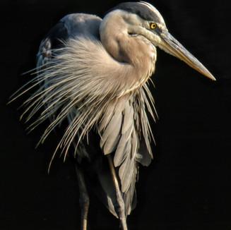 Heron 7.jpg