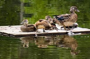 Wood duck on platform.jpg