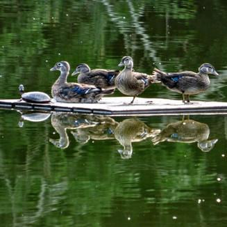 Ducks and turtles.jpg