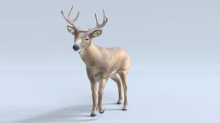 White-Tailed Deer Groom & Rig