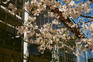 emeryville_blossons.png