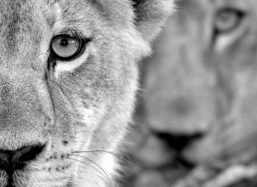 lioness_grey.jpg